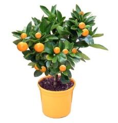 Цитрусовое дерево в горшке