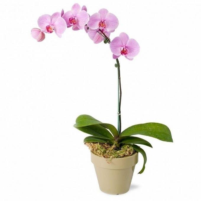 Орхидея фаленопсис 1 ствол в горшке