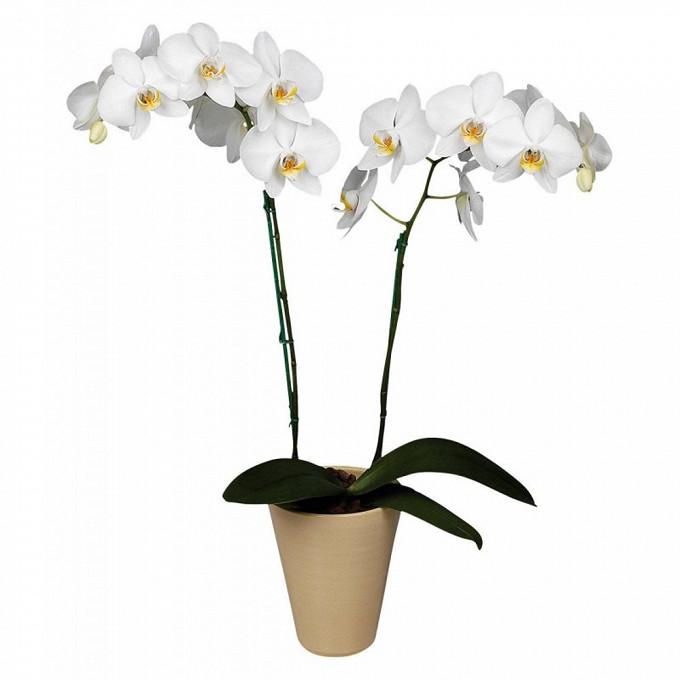 Орхидея Фаленопсис 2 ствола в горшке