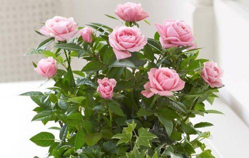 Роза горшечная