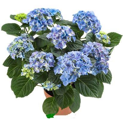 Гортензия Ерли синяя