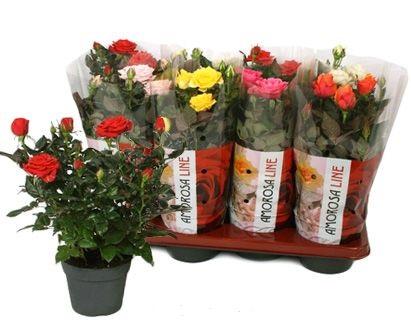 Роза Амороза микс
