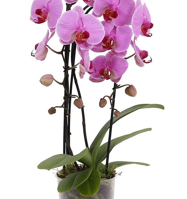Фаленопсис Каскад розовый 2ств.: Ø 12 см; выс.40